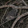 Tawny Owl (Strix aluco) fledgeling, Congenies, Langeduoc, France