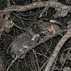 Tawny Owl (Strix aluco) fledgeling being fed, Congenies, Langeduoc, France