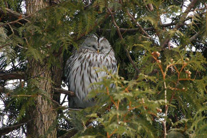Ural Owl (Strix uralensis) Female, Mikasa, Hokkaido