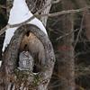 Ural Owl (Strix uralensis) Sapporo, Hokkaido, Japan