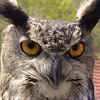 Eurasian Eagle-Owl (Bubo bubo) - A 4 kilogram female named Rosa used in falconry, Karolstejn, Czech Republic.  She has caught foxes and hares.