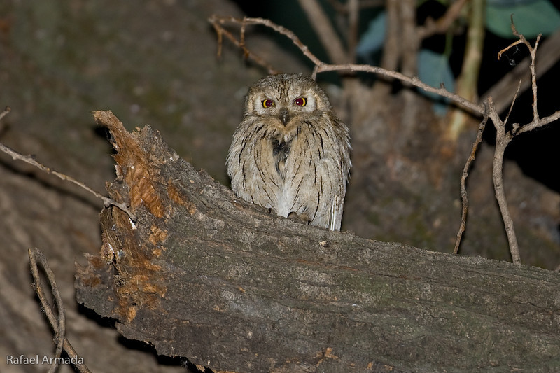 Pallid Scops Owl (Otus brucei), Juvenile. Birecik (Turkey), May 2008.