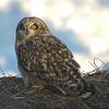 Short-eared Owl, Ft. Edward, NY