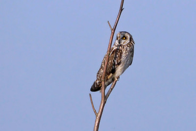 Short-eared Owl (Asio flammeus), Heartwood Forest, Sandridge, Hertfordshire, 14/03/2012.