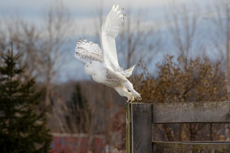 Snowy Owl 11 (2017)