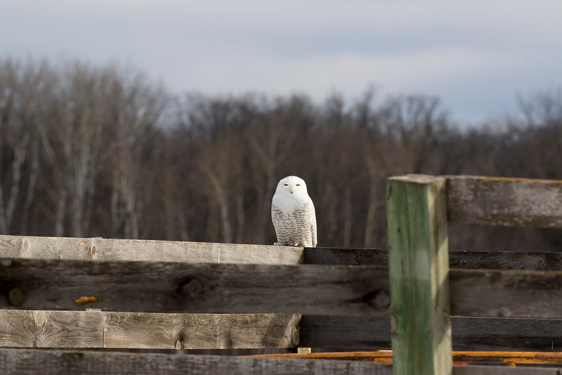 Snowy Owl 9 (2017)