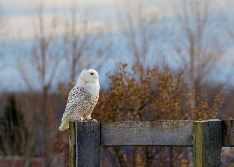 Snowy Owl 10 (2017)