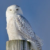 Snowy Owls, Little Falls, NY 1-9-14