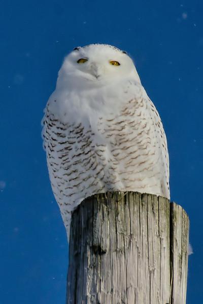 Snowy Owl, Little Falls, NY