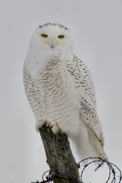 Snowy Owls, Little Falls, NY 1-9-14