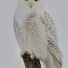 Snowy Owl, Little Falls, NY 1-9-14