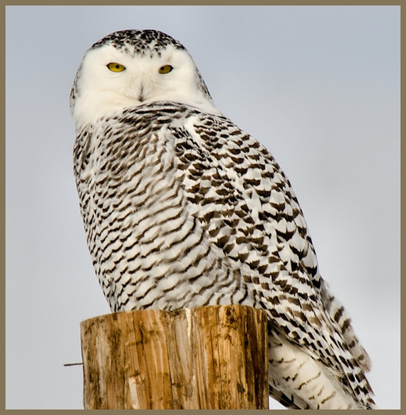 Female Snowy Owl, <br /> Little Falls, NY 1-16-14