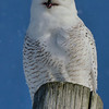 Tell me another joke!!!<br /> Snowy Owl, Little Falls, NY 1-9-14