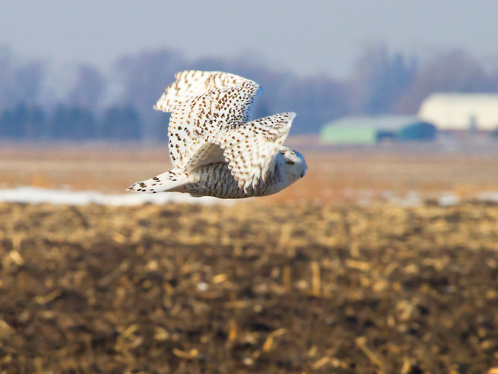 Snowy owl 5 (2012)