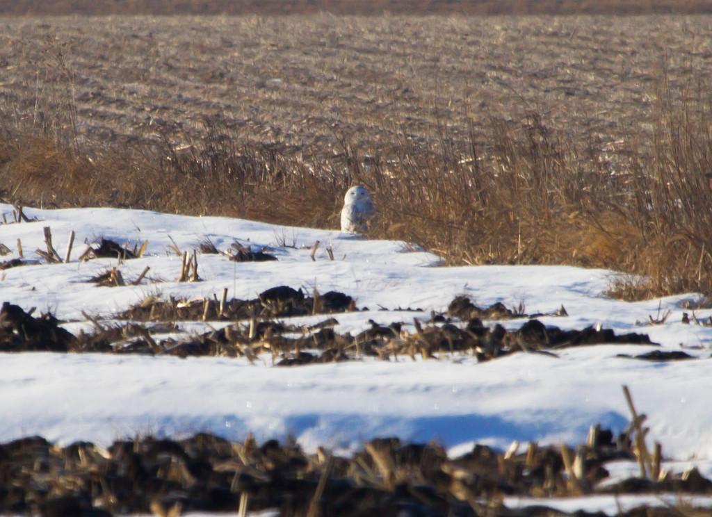 Snowy owl 15 (2012)