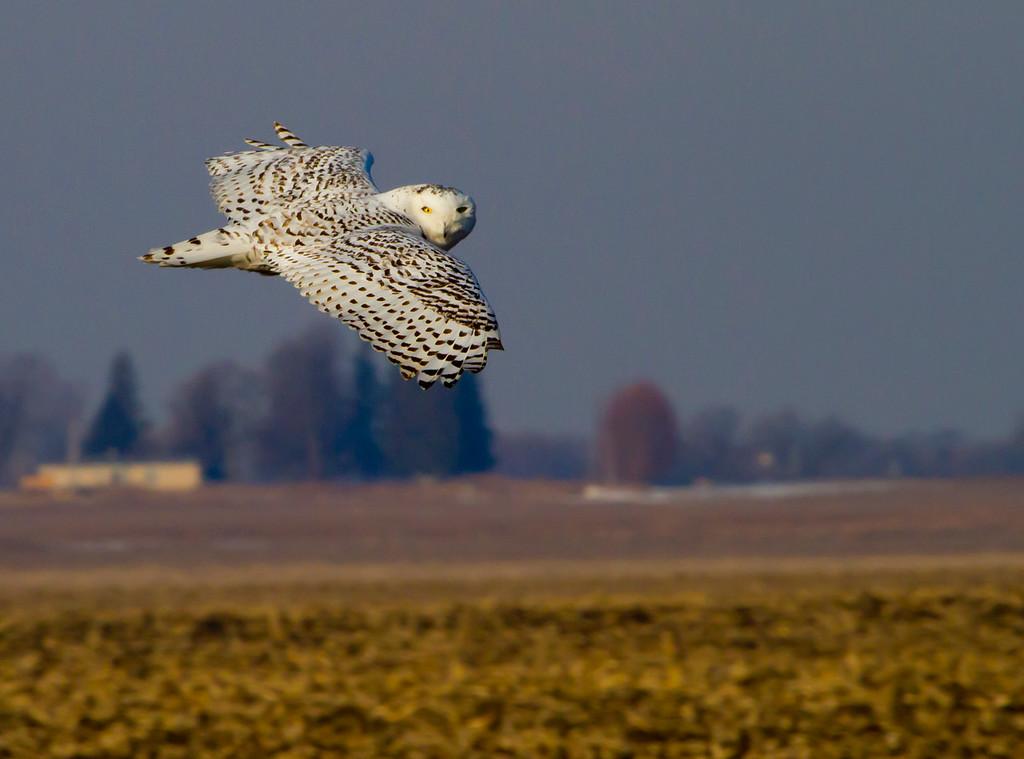 Snowy owl 1 (2012)