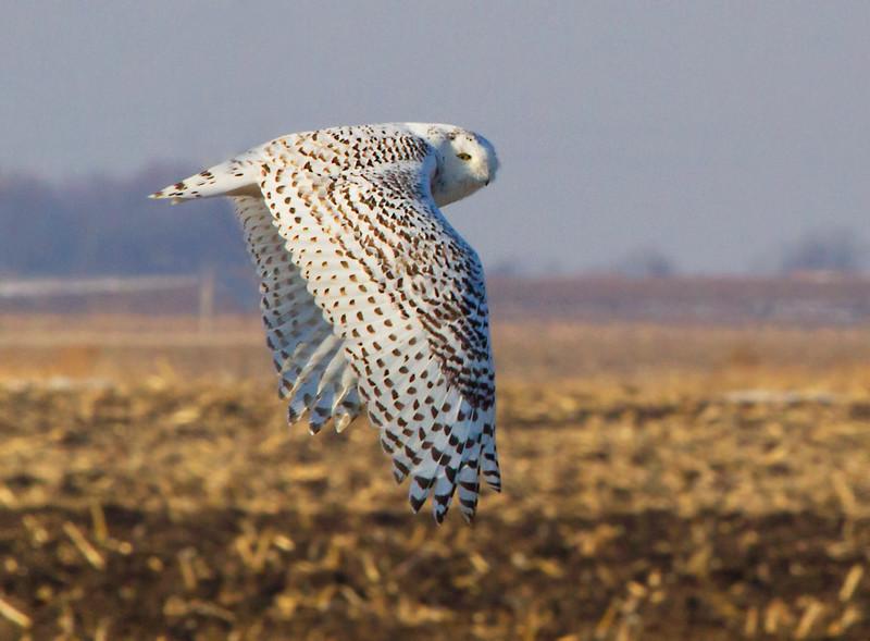 Snowy Owl 3 (2012)