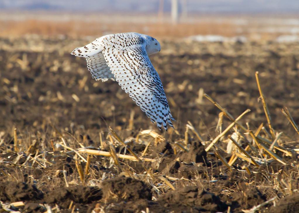 Snowy owl 6 (2012)