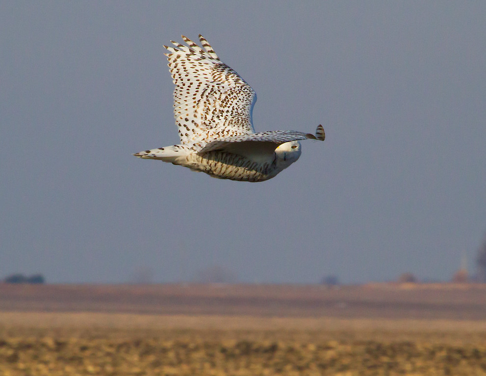 Snowy owl 4 (2012)