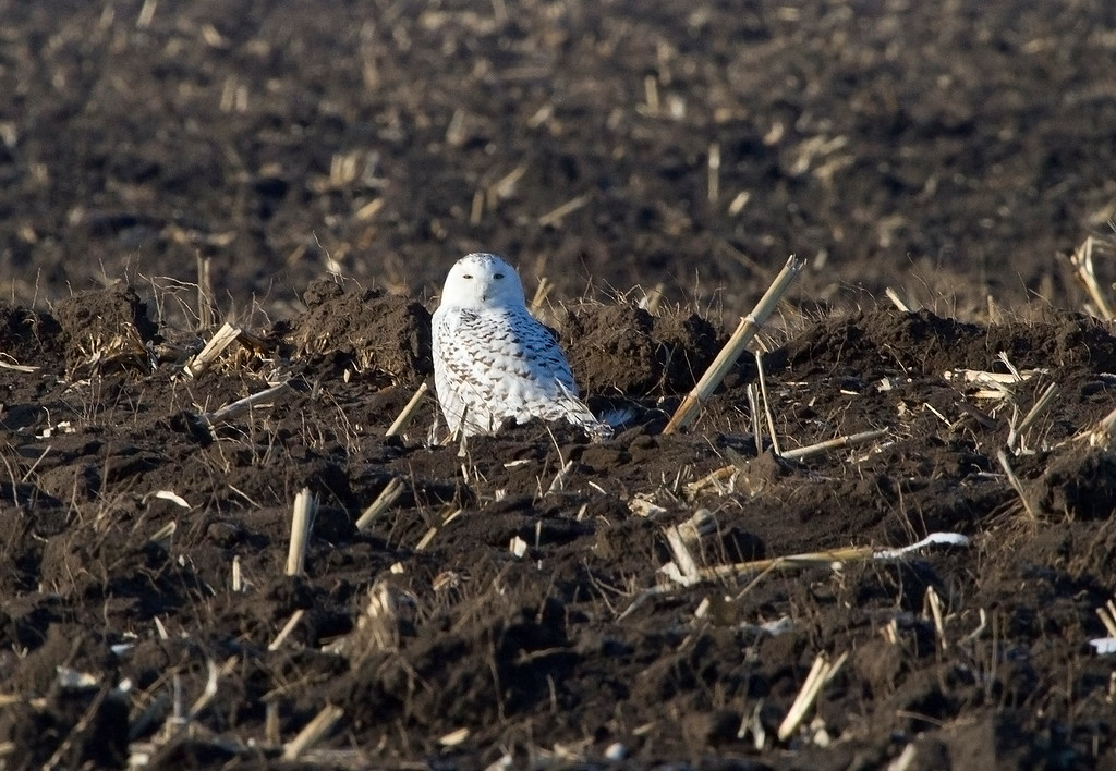 Snowy owl 11 (2012)