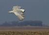 Snowy Owl 2 (2012)