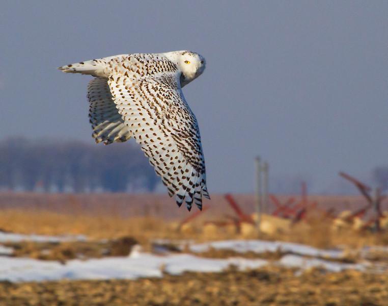 Snowy Owl 7 (2012)