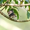 Amazonian Pygmy-Owl (Glaucidium hardyi) Cristalino Lodge, Alta Floresta, Mato Grosso, Brazil