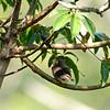 Amazonian Pygmy-Owl (Glaucidium hardyi) being mobbed by Fork-tailed Woodnymph (Thalurania furcata) Cristalino Lodge, Alta Floresta, Mato Grosso, Brazil