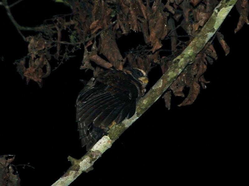 Band-bellied Owl (Pulsatrix melanota) Waqanki Orchid Garden,  Moyabamba, San Martin, Peru