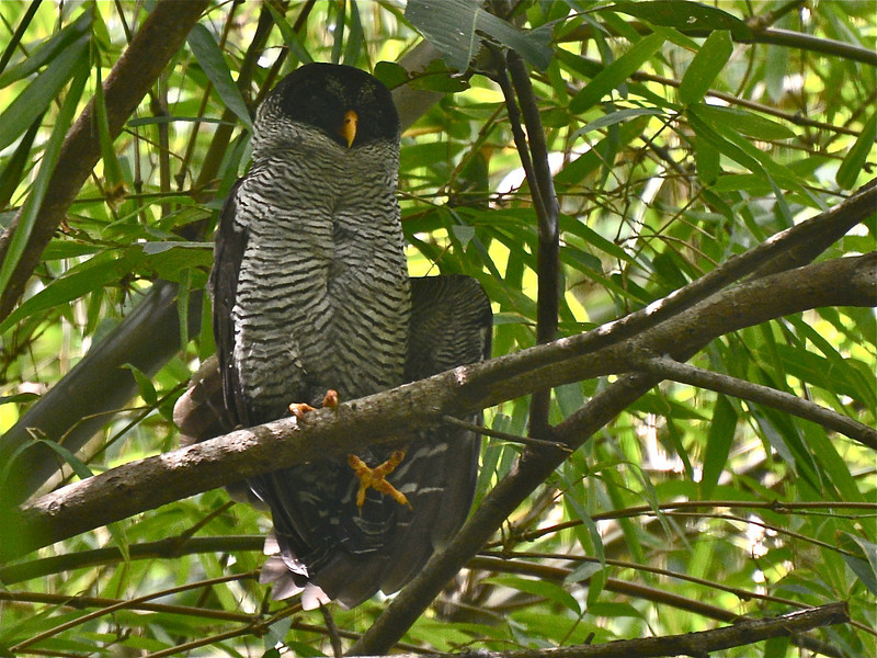 Black-and-white Owl (Strix nigrolineata) Santa Marta, Columbia