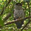 Black-and-white Owl (Strix nigrolineata) Santa Marta, Columbia
