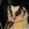 Buff-fronted Owl (Aegolius harrisii) Utcabamba Valley, Amazonas, Peru