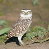 Burrowing Owl (Athene cunicularia) Lomas de Lachay Reserve, Huara, Lima, Peru