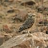 Burrowing Owl (Athene cunicularia) Chaparri Reserve, Lambayeque Province, Peru