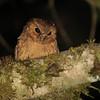 Cinnamon Screech Owl (Megascops petersoni) La Esperanza, Amazonas, Peru