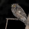 Coastal (Peruvian) Screech-Owl (Megascops robaratus pacificus) Chaparri Reserve, Lambayeque Province, Peru