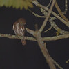 Ferruginous Pygmy Owl (Glaucidium brasilianum) Moyabamba, San Martin, Peru