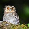Long-whiskered Owlet (Xenoglaux loweryi) Abra Patricia Lodge, <br /> Amazonas, Peru