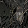 Koepcke's Screech-Owl (Megascops koepckeae) Chillo Lodge, Utcabamba Valley, San Martin, Peru