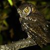 Koepcke's Screech-Owl (Megascops koepckeae) Leymebamba, San Martin, Peru