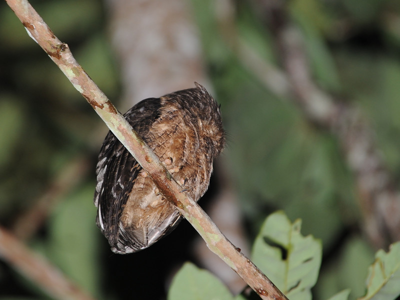 Northern Tawny-bellied Screech Owl (Megascops watsonii) Allpahuayo Reserve, Iquitos, Loreto, Peru
