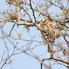 Peruvian Pygmy-Owl (Glaucidium peruanum) Chaparri Reserve, Lambayeque Province, Peru