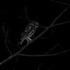 West Peruvian Screech-Owl (Megascops robaratus robaratus) Gotas de Agua Reserve, Maranon Valley, Cajamarca, Peru