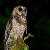Rufous-banded Owl (Ciccaba albitarsis) Rio Blanco Reserve, Manizales, Caldas, Columbia