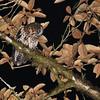 Rufous-banded Owl (Ciccaba albitarsis) Cabanas San Isidro, Napo, Ecuador