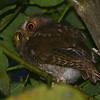 Santa Marta screech-owl (Otus gilesi) El Dorado Reserve, Santa Marta Mountains, Santa Marta, Columbia