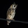 Striped Owl (Asio clamator) Moyabamba, San Martin, Peru