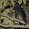 Stygian Owl (Asio stygius) Moyabamba, San Martin, Peru