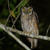Tropical Screech Owl (Megascops choliba) Waqanki Orchid Garden,  Moyabamba, San Martin, Peru