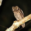 Tropical Screech Owl (Megascops choliba) Tingana Reserve, Moyobamba, San Martin, Peru